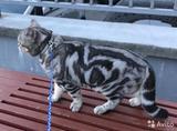 вязка с британсским котом -1500      котята от 2000